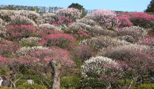 池上梅園の梅が咲き始めました。